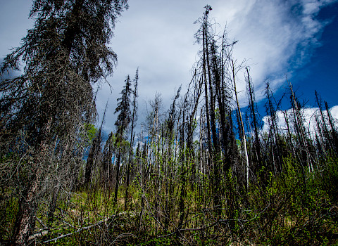 Burnt trees in Alaska. Photo: iStock / A&J Photos